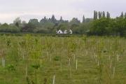 Field of newly planted trees alongside Bouts Lane.