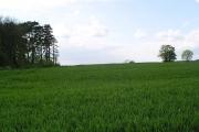 North Kent - wheat fields