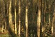 Marked trees, Broadhempston Community Woodland