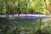 Bluebells at Saltwells Wood