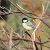 Great tit at Old Moor Wetlands Centre