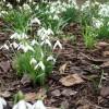 Leamington Victoria Park in Winter, snowdrops