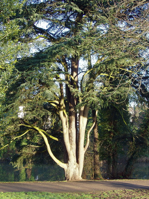 Leamington Victoria park - ornamental tree