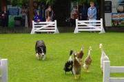 Duck trials at the Big Sheep, Abbotsham near Bideford