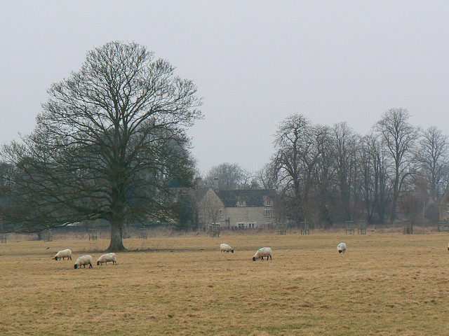 Field, a tree and some sheep, Oak Road, Down Ampney