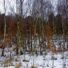 Birch trees on a former 'muck stack'