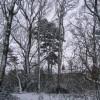 Scots pine, Hearsall Common