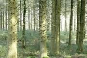 Woodland at Bellever