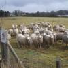 Sheep on footpath