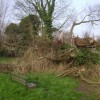 Collapsed willow, Riverside Walk, Warwick