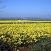 Looking through the hedge at a field of daffodils near Mountjoy
