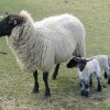 Sheep Investigate
