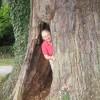 The hollow Eardisley Oak