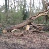 A Dead Tree had been Felled on Bookham Common