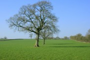 Oak trees in a pasture off Long Lane