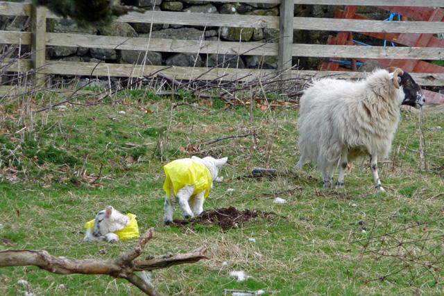 Well dressed lambs
