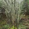 Lichen-covered tree, Craig Phadrig, Inverness