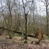 Fallen tree, Beckington Wood