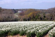 A field of white narcissus near Playing Place