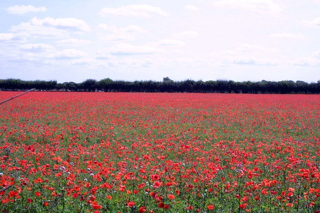 Field of poppies near Ardley