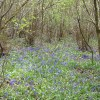 A thin carpet of bluebells