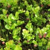 Flowering stage of the bilberry plant