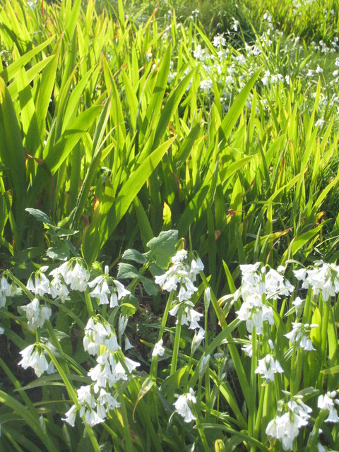 Flowers of Three Cornered Leek (Allium triquetrum) and young leaves of Montbretia