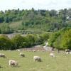 Grazing sheep by Pillmawr Road