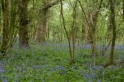 English Bluebells in narrow woodland west of Manor Farm