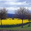 Rape field south of Canon Pyon