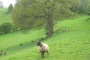 Sheep pasture above the Cheaton Brook