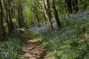 Bluebells in Woodleigh Wood