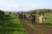 Cattle, Newton Arlosh