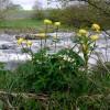 Globe Flowers (Trollius europaeus) by River Tees
