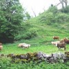 Young cattle near Upperdale