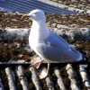 A Herring Gull at Montrose