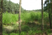 Birch trees in Delamere Forest