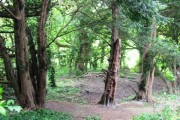 Part of the main yew grove, to the west of the old track in Cobblers Pits