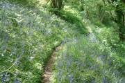 Bluebells near Bulwell Bay