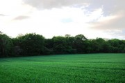 Carroty Wood across a wheat field