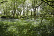 Bluebells and Silver Birch.
