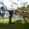 Old Pine, Wren Crag