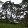 Scot's Pine, Wren Crag