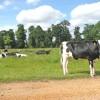 Cattle in Raveningham Park