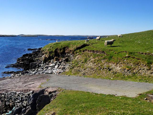 Sheep near Setter