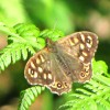 Speckled Wood (female) Butterfly