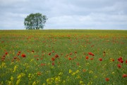 Rape and poppies, Leven