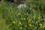 Reeds, flowers & a canal