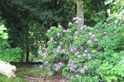 Rhododendron in the woods, Milner Field