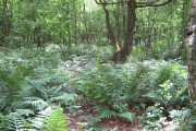 Sunlight on ferns